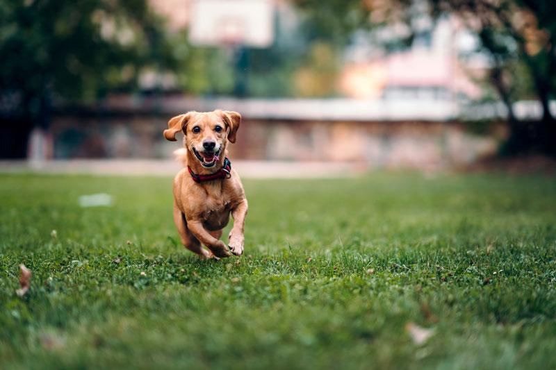 EKG hund