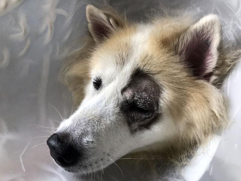 øyeoperasjoon på hund